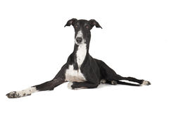 Greyhound Hort σκυλί Στοκ Φωτογραφία