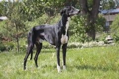 Greyhound Hort σκυλί Στοκ φωτογραφίες με δικαίωμα ελεύθερης χρήσης