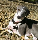 Greyhound In Fall Leaves Royalty Free Stock Photography