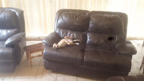 Greyhound Itian Στοκ Εικόνες