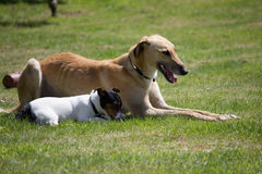 Greyhound with Jack Russel Royalty Free Stock Image