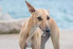 Greyhound looking. Greyhound  on a beach looking at us and one eare up Royalty Free Stock Photos