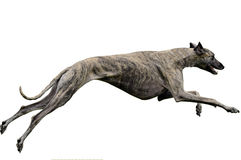 Greyhound lure coursing. A male greyhound lure coursing. Clipping path included royalty free stock photos