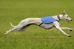 Greyhound lure coursing Royalty Free Stock Photo