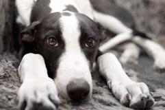 Greyhound lying on sofa Stock Images