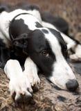 Greyhound lying on sofa Royalty Free Stock Photography
