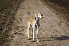 Greyhound Stock Photography