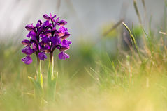 Greyhound orchid Royalty Free Stock Photography