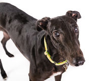 Greyhound. Picture of a black greyhound Stock Photos