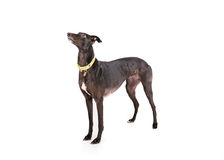 Greyhound Stock Photos