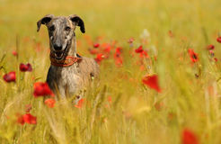 Greyhound among the poppies in spring Royalty Free Stock Images