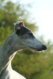 Greyhound portait Stock Image