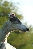 Greyhound portait. The white old greyhound portait Stock Image