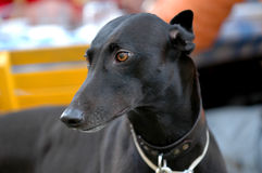 Black Greyhound portrait Stock Images