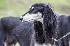 Greyhound portrait Royalty Free Stock Photos
