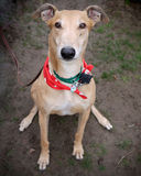 Greyhound Portrait Stock Photography