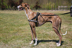 Greyhound posing for the camera Stock Photo
