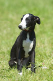 Greyhound puppy dog portrait stock images