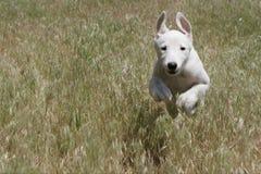 Greyhound puppy running through a field
