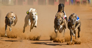 Greyhound race. Five greyhound dogs racing around a track with a cloud of dust behind them Royalty Free Stock Image