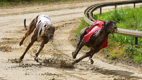 Greyhound Race Royalty Free Stock Photo