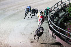 Greyhound race in Vietnam Stock Photos
