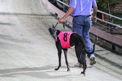 Greyhound race in Vietnam Stock Photo