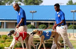 Greyhound Racing Dogs Being Led Down the Track at Southland Racing And Gaming Park, West Memphis Arkansas. Southland Park Gaming and Racing is a greyhound racing Stock Image