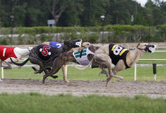 Greyhound Racing. Greyhound dogs racing on a track stock photos