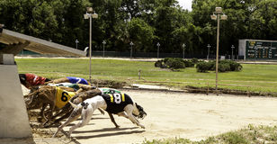 Greyhound Racing Stock Images