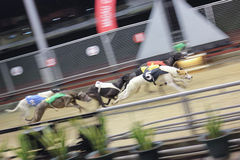 Greyhound racing Stock Photography