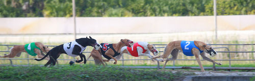Greyhound racing in Melbourne, Florida Royalty Free Stock Photos