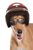 Greyhound racing Royalty Free Stock Image