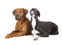 Greyhound and rhodesian ridgeback Royalty Free Stock Images