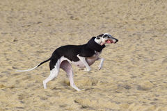 Greyhound running in a beach with a scarf. Greyhound dog running on the sand of a beach with opened mouth Royalty Free Stock Photo