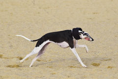 Greyhound running in a beach with a scarf. Greyhound dog running on the sand of a beach with opened mouth Stock Images