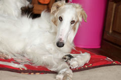Greyhound, Russian borzoi resting Stock Image