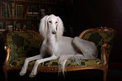 Greyhound saluki στο βασιλικό εσωτερικό στοκ εικόνα