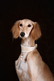 Greyhound saluki dog portrait Royalty Free Stock Images