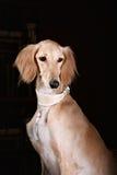 Greyhound saluki dog portrait Stock Images