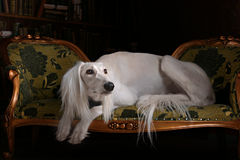 Greyhound saluki in Royal interior Stock Photo