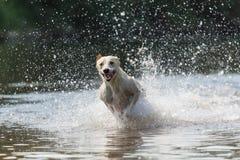 Greyhound 4 Royalty Free Stock Photos