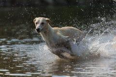 Greyhound 6 Royalty Free Stock Photography
