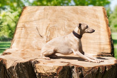Greyhound on the stump Royalty Free Stock Photography