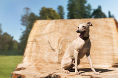 Greyhound on the stump Royalty Free Stock Images