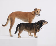 Greyhound and terrier on white background stock photos