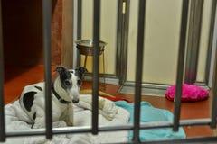 Greyhound waiting adoption Battersea Dogs & Cats Home. Ex-racing dog greyhound waiting for adoption at Battersea Dogs & Cats Home in London Royalty Free Stock Photo