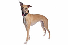 Greyhound, Whippet, Galgo dog Stock Image