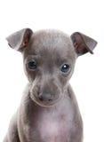 Greyhound on white background. Greyhound portrait isolated on white background royalty free stock photos