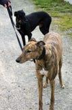 Greyhounds Stock Photography